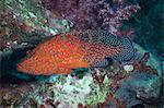 Coral hind, (cephalopholis), SouthernThailand, Andaman Sea, Indian Ocean, Asia