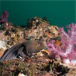 Giant moray eel (Gymnothorax javanicus), SouthernThailand, Andaman Sea, Indian Ocean, Southeast Asia, Asia