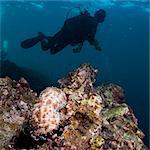 Sea cucumber (Bohadschia graeffei), and scuba diver SouthernThailand, Andaman Sea, Indian Ocean, Southeast Asia, Asia