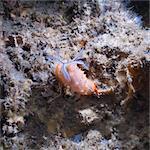 Nudibranch (Halgerda batangas), Southern Thailand, Andaman Sea, Indian Ocean, Southeast Asia, Asia