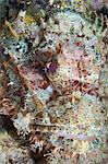 Scorpionfish (Scorpaenopsis), Southern Thailand, Andaman Sea, Indian Ocean, Southeast Asia, Asia