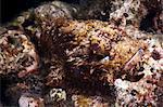 Scorpionfish (bearded scorpionfish) (Scorpaenopis barbatus), Southern Thailand, Andaman Sea, Indian Ocean, Southeast Asia, Asia