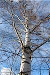 Silver birch (Betula pendula) in late autumn, Bavaria, Germany.