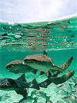 Group of Nurse Sharks