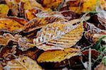 Close-up of common hornbeam (Carpinus betulus) leaves on the ground in autumn, Upper Palatinate, Bavaria, Germany