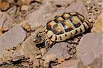 Eastern Hermann's tortoise (Testudo hermanni boettgeri) walking around on the ground, Bavaria, Germany
