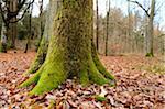 Close-up of a English oak (Quercus robur) tree trunk in autumn, Franconia, Bavaria, Germany