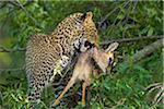 Leopard (Panthera pardus) with Dik-dik (Madoqua) Prey in Tree, Maasai Mara National Reserve, Kenya