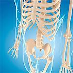 Male skeleton, computer artwork.