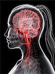 Brain's blood supply, computer artwork.