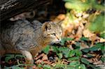 European wildcat (Felis silvestris silvestris) in the Bavarian Forest, Germany