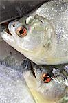 South America, Brazil, Amazonas, freshly caught Black or Red Eye piranha, Serrasalmus rhombeus,