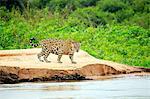 South America, Brazil, Mato Grosso, Pantanal, a male jaguar, panthera onca.