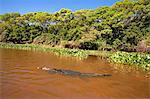 South America, Brazil, Mato Grosso, Pantanal, a Yacare caiman, Caiman crocodilus yacare, swimming up a river in the Parque Estadual Encontro das Aguas