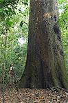 South America, Brazil, Mato Grosso, Castanheira do Brasil, a tourist stands next to a giant Brazil nut tree in the Amazon forest near Cristalino Jungle Lodge