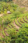 China, Yunnan, Jinghong. A small tea plantation near Jinghong.