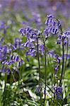 UK, Wiltshire. Bluebells in wood.