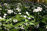 UK, Wiltshire, wild garlic covers the woodland floor