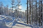 Winter Forest with Sun, Grafenau, Lusen, National Park Bavarian Forest, Bavaria, Germany