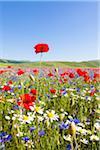 Corn Poppies (Papaver rhoeas), Oxeye Daisies (Leucanthemum vulgare) and Blue Cornflowers (Centaurea cyanus), Piano Grande, Monti Sibillini National Park, Umbria, Italy