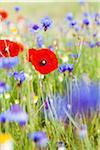 Corn Poppies (Papaver rhoeas), Blue Cornflowers (Centaurea cyanus) and Oxeye Daisies (Leucanthemum vulgare), Monti Sibillini National Park, Umbria, Italy