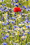 Corn Poppy (Papaver rhoeas), Blue Cornflowers (Centaurea cyanus) and Oxeye Daisies (Leucanthemum vulgare), Monti Sibillini National Park, Umbria, Italy