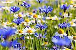 Blue Cornflowers (Centaurea cyanus) and Oxeye Daisies (Leucanthemum vulgare), Monti Sibillini National Park, Umbria, Italy