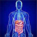 Male digestive system, computer artwork.