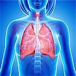 Female lungs, computer artwork.