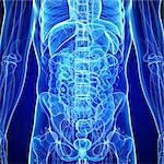 Abdominal anatomy, computer artwork.