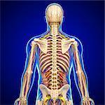 Back anatomy, computer artwork.