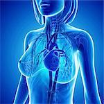 Female cardiovascular system, computer artwork.