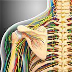 Shoulder anatomy, computer artwork.
