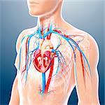 Male cardiovascular system, computer artwork.
