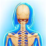 Female skeleton, computer artwork.