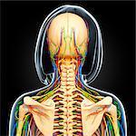 Upper body anatomy, computer artwork.