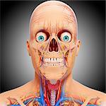 Head anatomy, computer artwork.