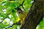 Common squirrel monkey (Saimiri sciureus) climbing on a tree