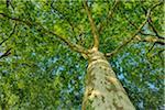 Plane Tree (Platanus) seen from below. Loir-et-Cher, Loire Valley, France.