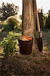 Fresh Vegetables in Garden, Croatia, Slavonia, Europe