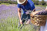 Man Cutting Lavender In Field, Croatia, Dalmatia, Europe