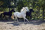Herd Of Horses, Baranja, Croatia, Europe