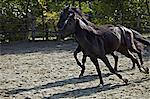 Horses In Paddock, Baranja, Croatia, Europe