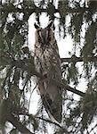 Sleeping long-eared owl sitting on a branch.