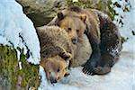 Brown Bear, Ursus arctos, in the Winter, Neuschoenau, National Park Bavarian Forest, Bavaria, Germany