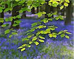 Beech Leaves with Bluebells in Spring, Hallerbos, Halle, Flemish Brabant, Vlaams Gewest, Belgium