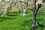 Blooming Apple Trees in Spring, Monchberg, Spessart, Bavaria, Germany