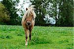 Welsh Pony on a meadow, Bavaria, Germany