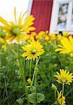 Yellow ox-eye daisies, close-up