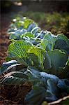 Cabbage Growing In Field, Croatia, Slavonia, Europe